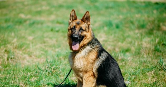 chien berger allemand assis dehors