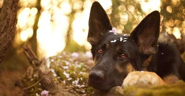 berger allemand allongé dans la forêt
