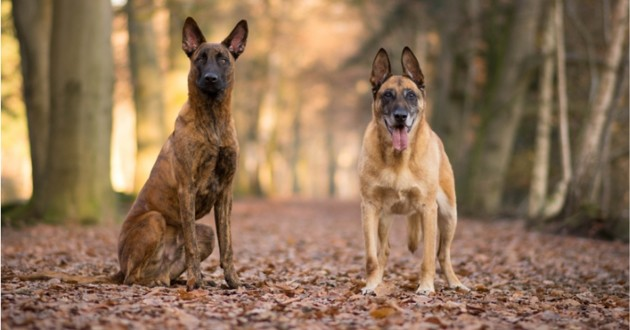 un berger hollandais et un berger belge