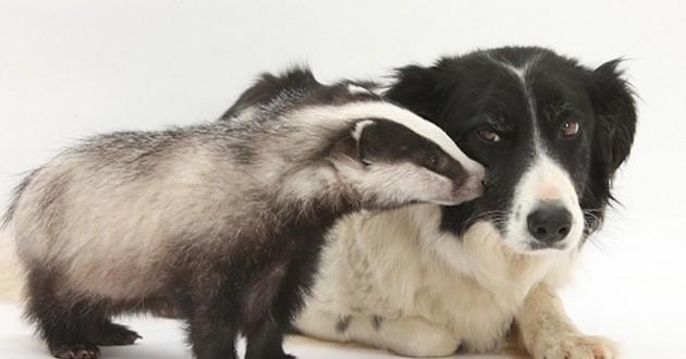 Un blaireau avec un chien
