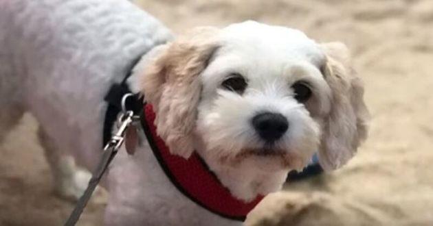 Billy un chien qui a mangé du cannabis