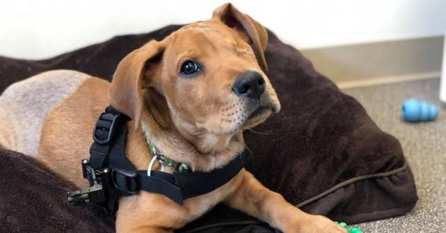 trooper, un chien qui a perdu un oeil et deux pattes arrière suite un accident