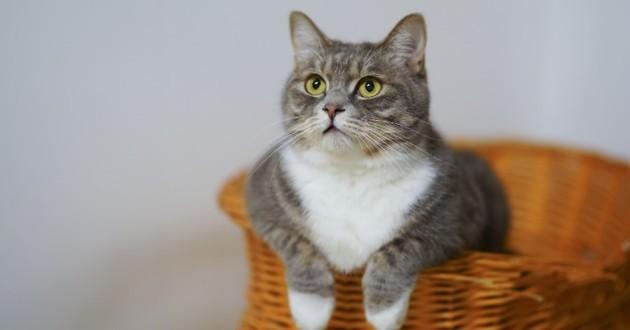 Chat dans un panier