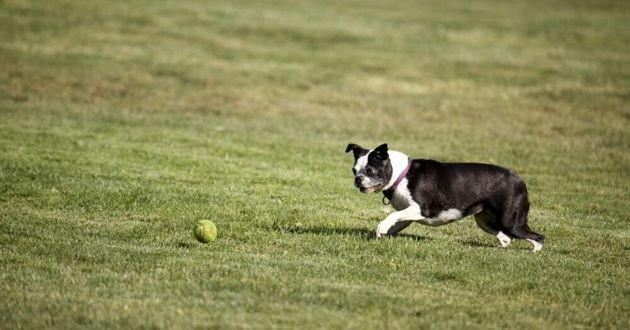 boston terrier avec une balle de tennis