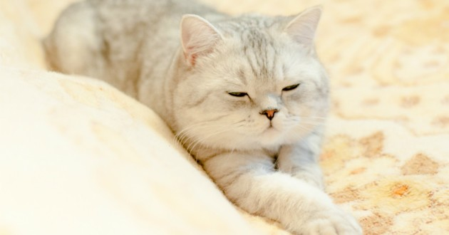 british shorthair chaton