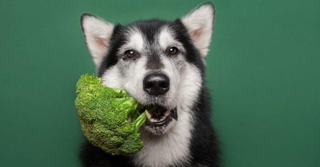 un husky avec un brocoli dans la gueule