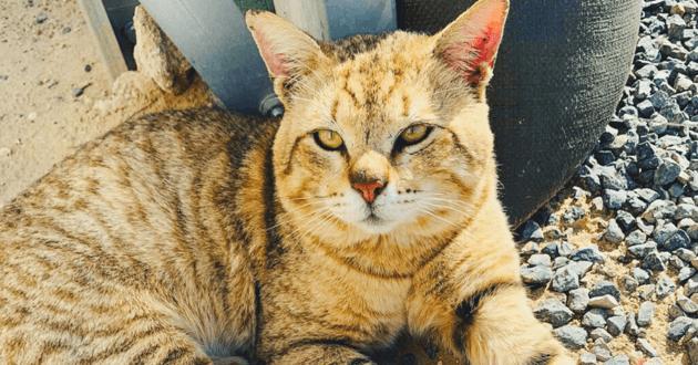Bubba le chat couché sur des cailloux