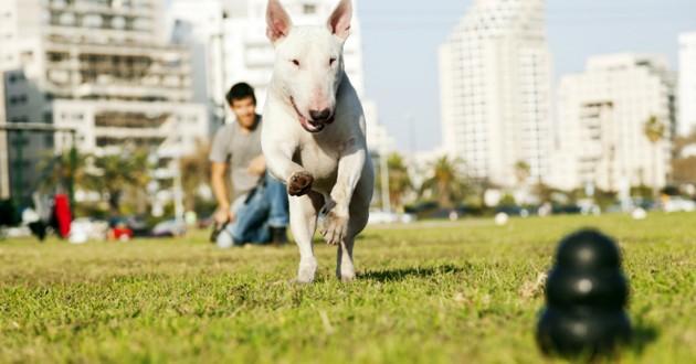 chien bull terrier