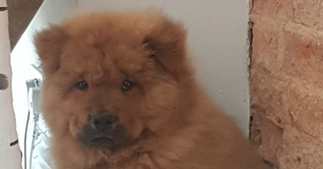 chiot chow chow