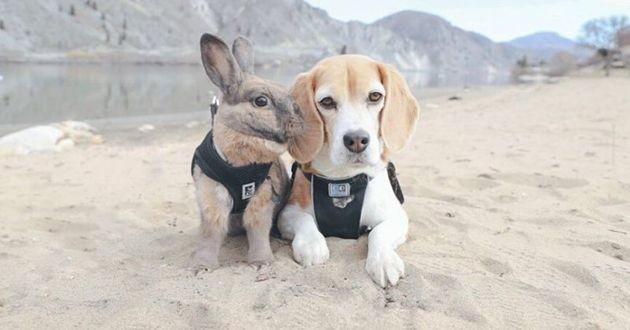 beagle et lapin