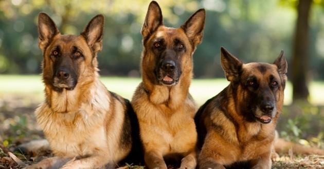 berger allemand chiens