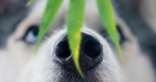 cannabis chien