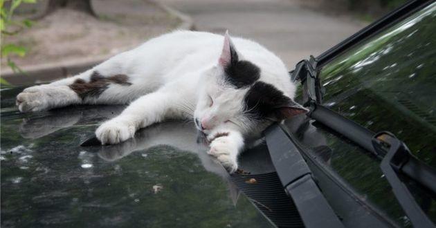 chat sur le capot d'une voiture