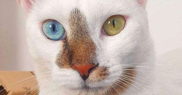 Bowie le chat aux yeux vairons