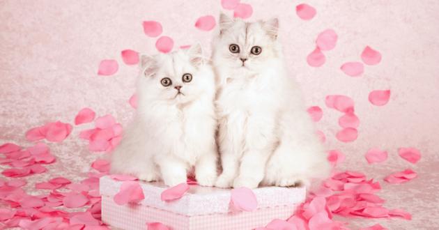 Deux chats blancs sur un podium entourés de cotillons rose