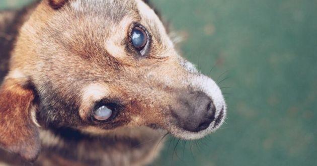 un chien avec une cataracte