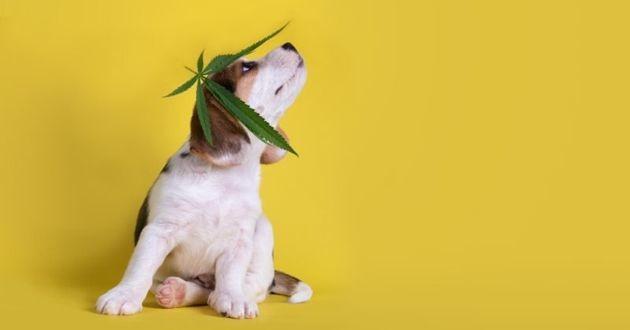 chiot beagle avec du cannabis sur la tête