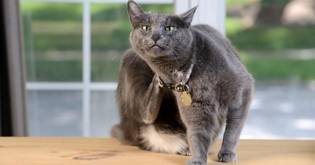 comment repérer et éliminer les puces du chat