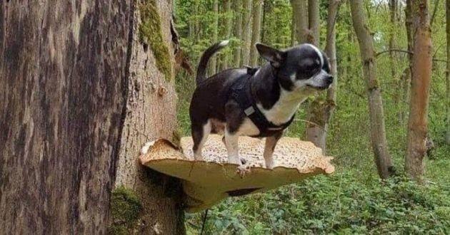 chihuahua sur un champignon