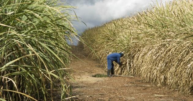 champs de canne à sucre