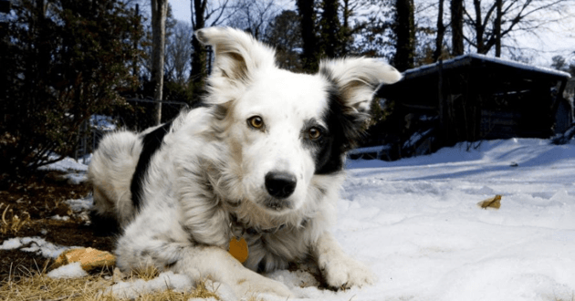 Chaser Border Collie