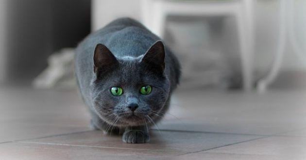 chat en position de chasse