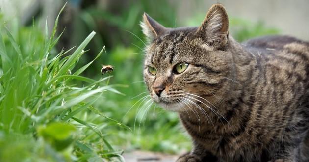 chat qui regarde une abeille
