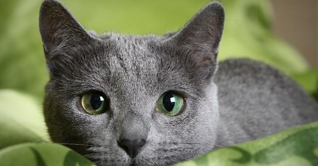 8 races de chats peu allergisantes choisir son chat wamiz. Black Bedroom Furniture Sets. Home Design Ideas