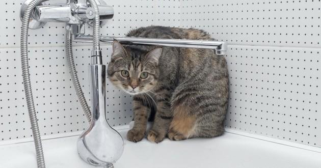 chat baignoire