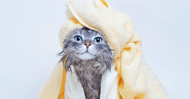 chat dans une serviette