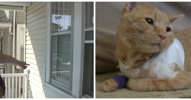 chat roux blessé