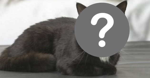 chat 2 visages gris noir