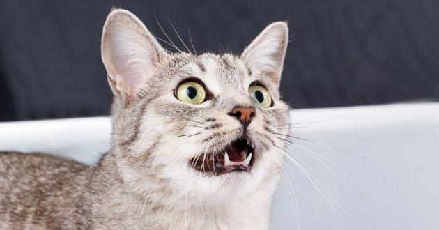 chat gris bouche ouverte