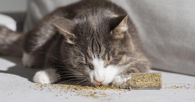 Chat lèche de la cataire