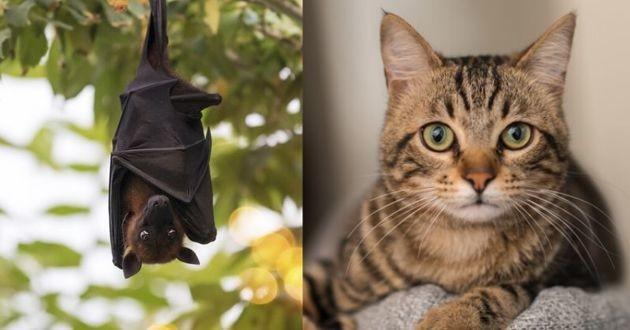 chat et chauve souris