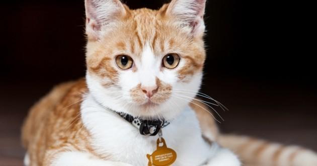 Chat avec collier et médaille