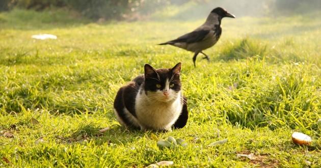 un chat et un corbeau