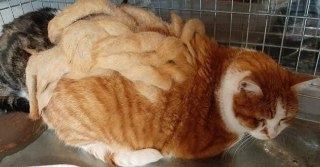 chat roux dreadlocks