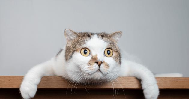 Chat couché avec un regard étonné
