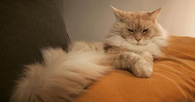 Chat couché fièrement sur un coussin