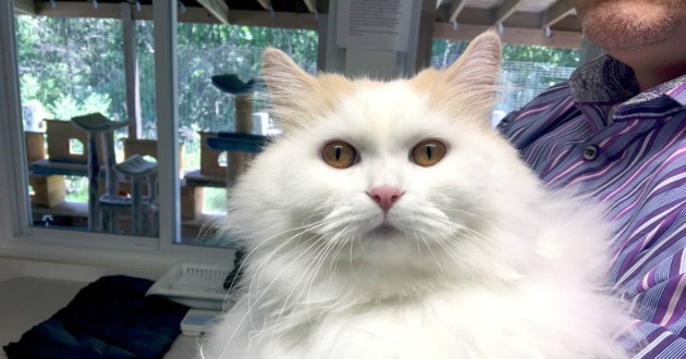 chat blanc fluffy