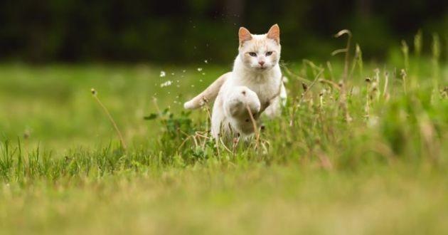 un chat blanc qui court dans un champ