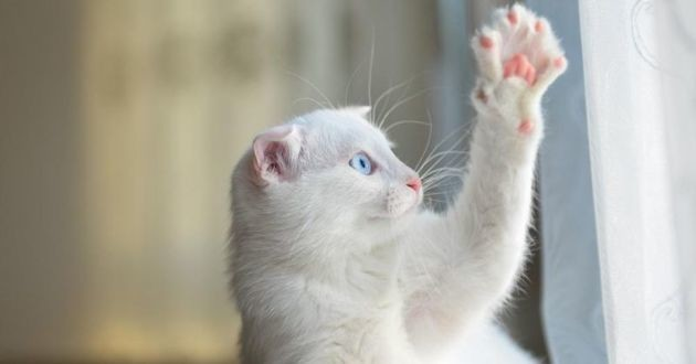 chat blanc griffes