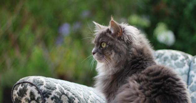 chat gris poils longs