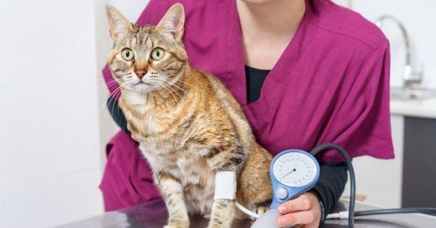 hypertension artérielle chez le chat