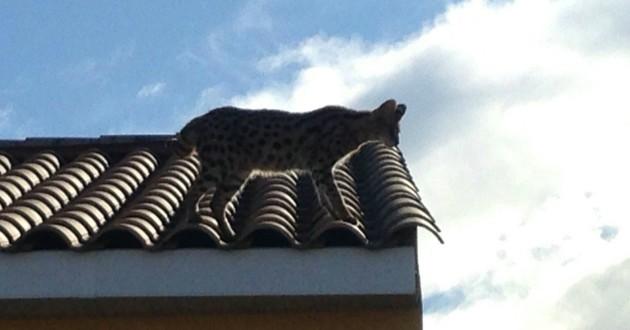 chat leopard savannah