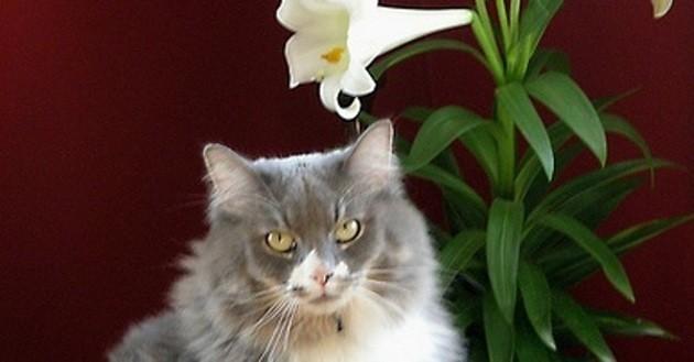 chat lys de pâques