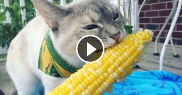 chat mange mais