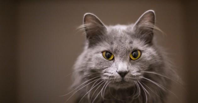chat gris foncé