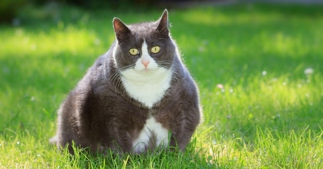 gros chat obèse